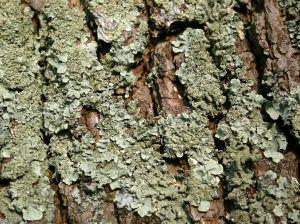 kora-drzewa