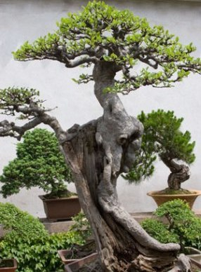 large-bonsai-tree